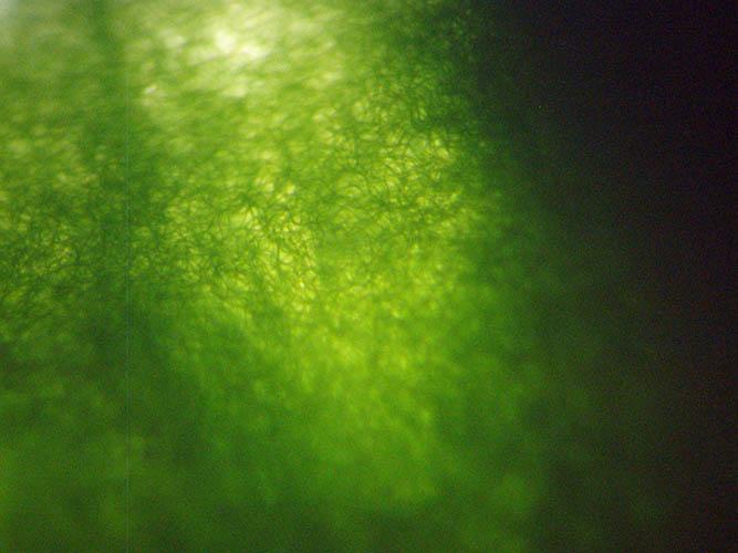 Spirulina, Si Alga Cyanobacteria yang Rendah Hati dan Kaya Manfaat