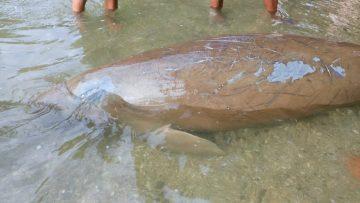Dugong Ditemukan Terdampar di Bahoi, Sulawesi Utara