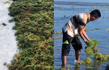 Meneropong Budidaya Rumput Laut Perairan Laut Sawu