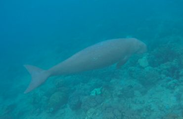 Dugong Sang Mamalia Laut Herbivor
