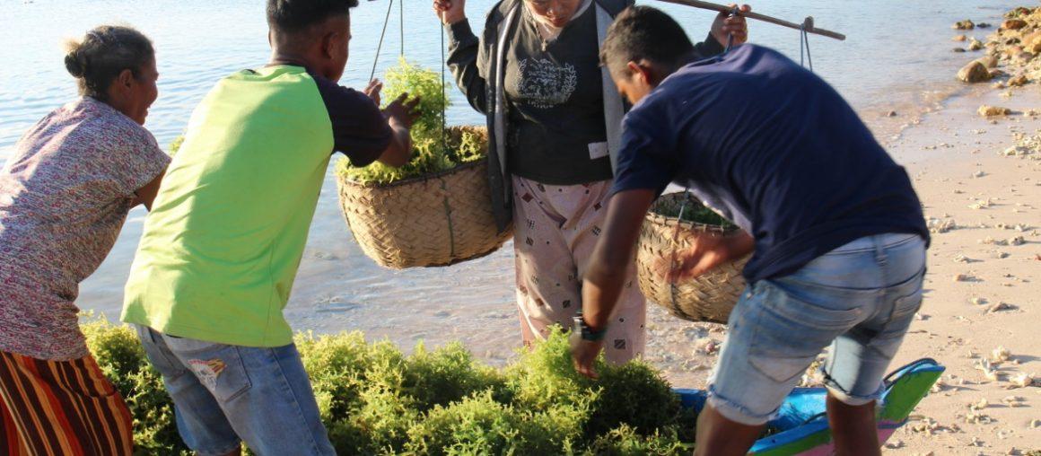 Perempuan Perkasa Petani Rumput Laut Sotimori